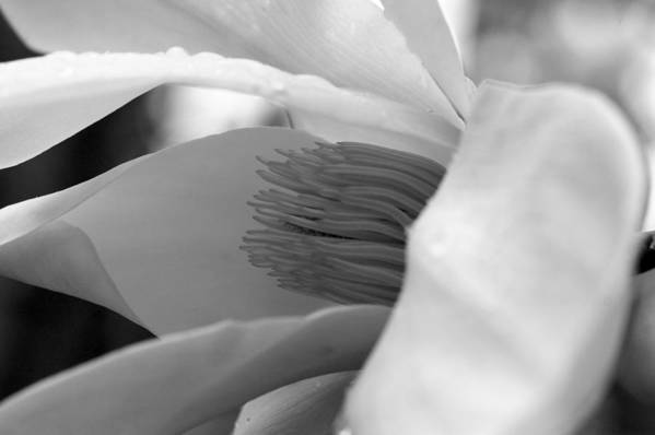 Tulip Tree Art Print featuring the photograph Tulip Tree Bloom by Scott Gould