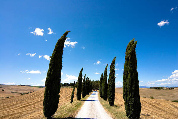 Tuscany Art Print featuring the photograph Tuscan Cypress Landscape by Mathew Lodge