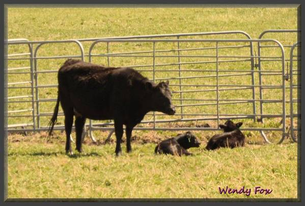 Cow Art Print featuring the photograph Twin Calves by Wendy Fox