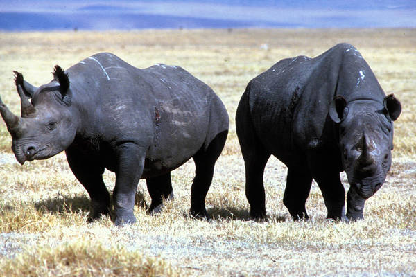 Gray Art Print featuring the photograph Two Rhinos by Carl Purcell
