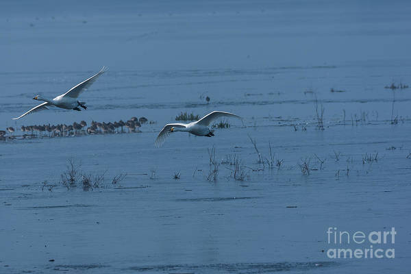 Whooper Art Print featuring the photograph Two Whooper Swans In Flight by Philip Pound