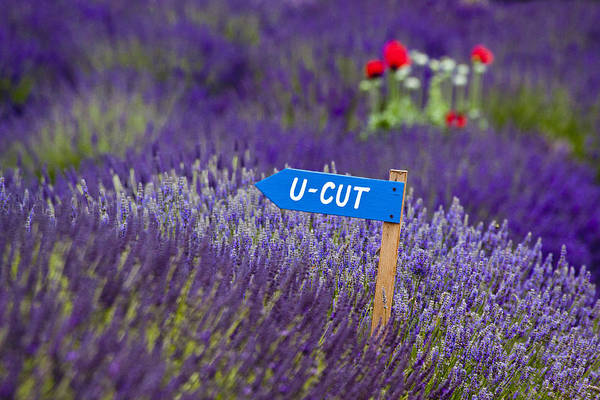 Abundance Art Print featuring the photograph U-cut Lavender by Eggers Photography
