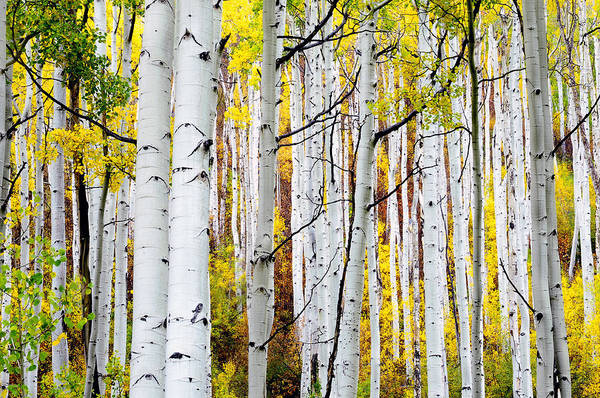 Aspen Trees Art Print featuring the photograph Uphill by The Forests Edge Photography - Diane Sandoval