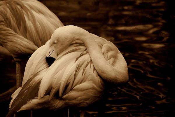 Flamingo Art Print featuring the photograph Vanity II by Susanne Van Hulst
