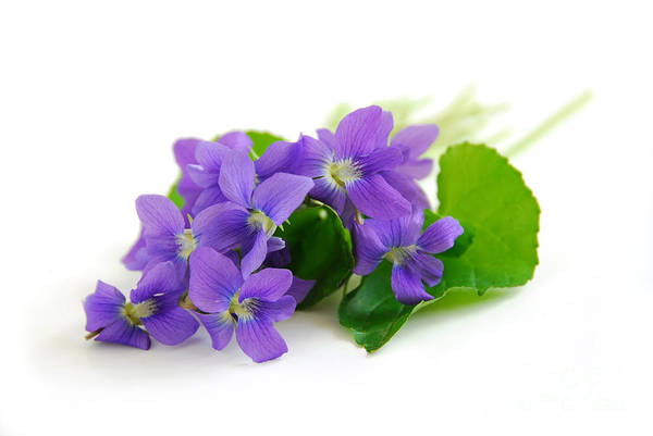 Violet Art Print featuring the photograph Violets On White Background by Elena Elisseeva