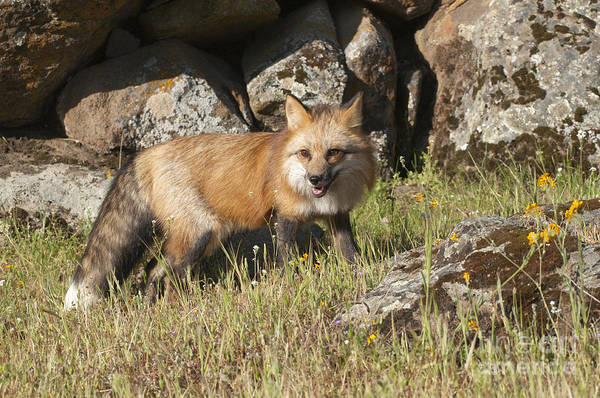 Red Fox Art Print featuring the photograph Wary Red Fox by Sandra Bronstein