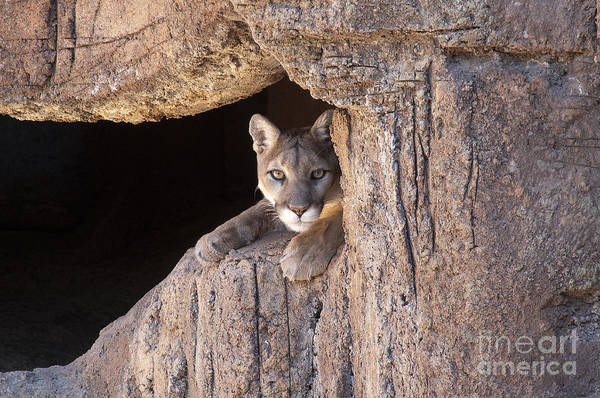 Cougar Art Print featuring the photograph Watchful Eyes by Sandra Bronstein
