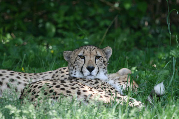 Cheetah Art Print featuring the photograph Watchful Resting by Deborah Molitoris