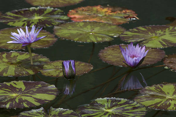 Water Lilies Art Print featuring the photograph Water Lilies by Allen Lefever