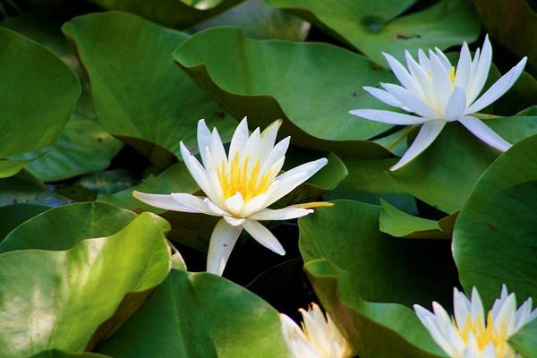 Water Lilies Art Print featuring the photograph Water Lilies by Dana Blalock