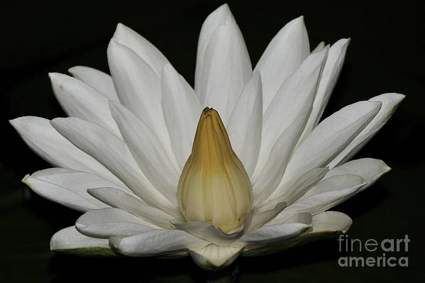 Water Lilies Art Print featuring the photograph Water Lily 23 by Terri Winkler