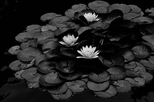 Three Art Print featuring the photograph Waterlily by Wilma Birdwell