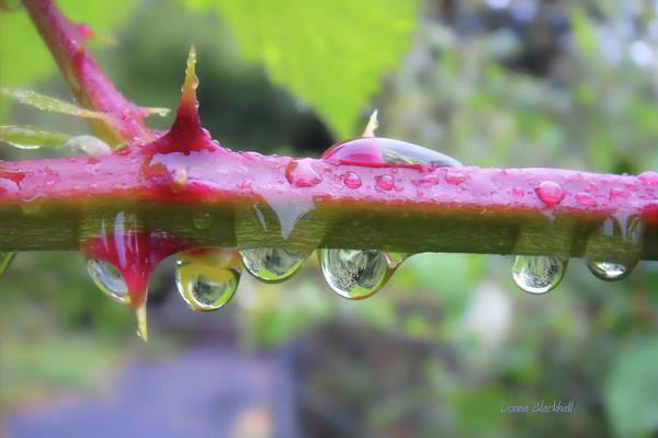 Blackberry Vine Art Print featuring the photograph Wet Prick by Donna Blackhall