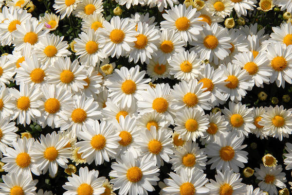 Flowers Art Print featuring the photograph White An Yellow by Oudi Arroni
