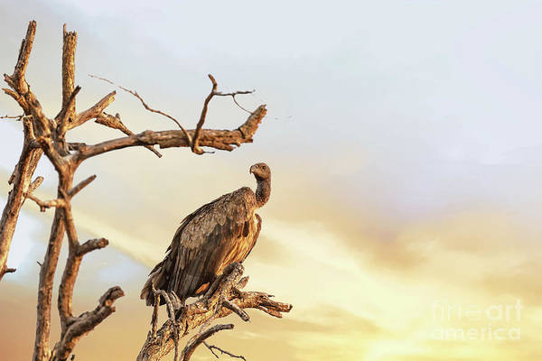 Vulture Art Print featuring the photograph White-backed Vulture by Jane Rix