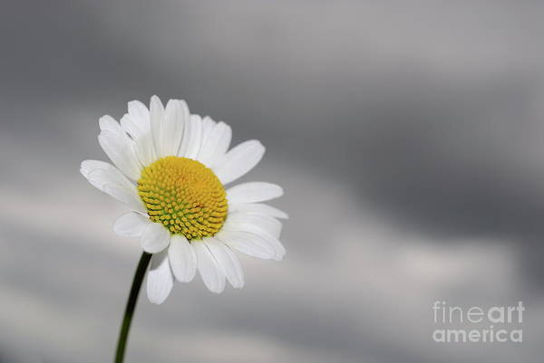 Focus Art Print featuring the photograph White Daisy by Sami Sarkis