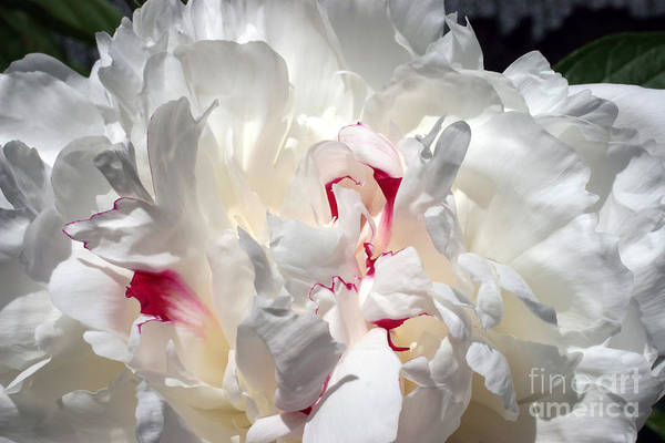 Peony Art Print featuring the photograph White Peony And Red Highlights by Steve Augustin