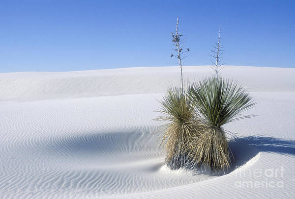 White Sands Art Print featuring the photograph White Sands Dune And Yuccas by Sandra Bronstein