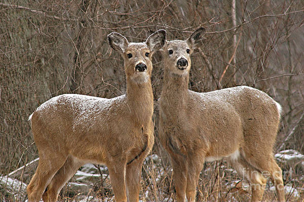 Deer Art Print featuring the photograph White-tailed Deer Pair Peering Out From Snowstorm by Max Allen