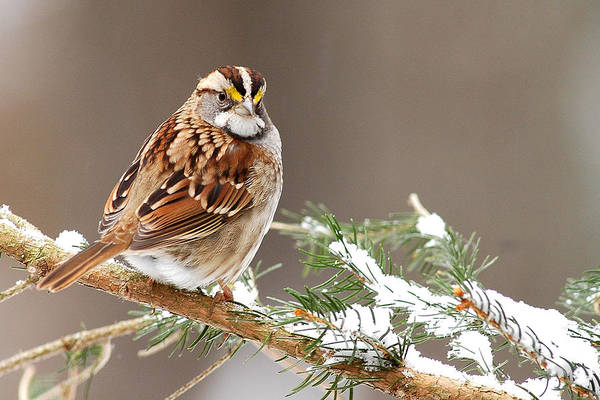 White Throated Sparrow Art Print featuring the photograph White Throated Sparrow by Alan Lenk
