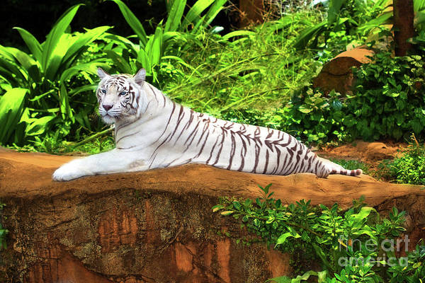 Tiger Art Print featuring the photograph White Tiger by MotHaiBaPhoto Prints