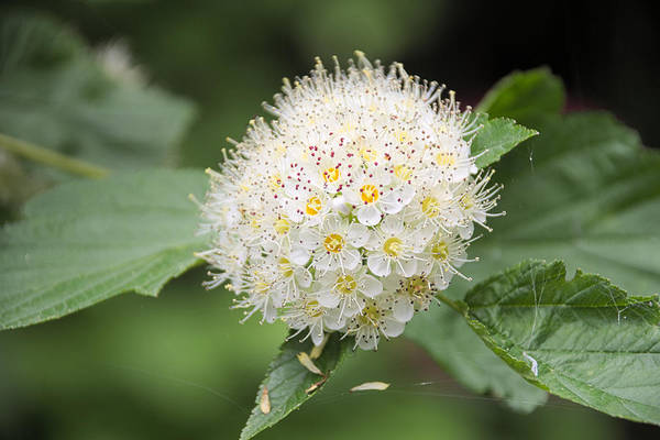 Wild Art Print featuring the photograph White Wild Flower by Timothy Ruf