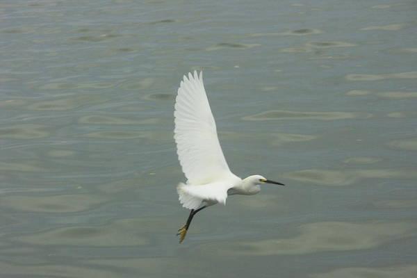 Bird Art Print featuring the photograph White Wing by Dean Corbin