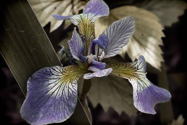 Flowers & Plants Art Print featuring the photograph Wild Blue Iris by Jeff Folger
