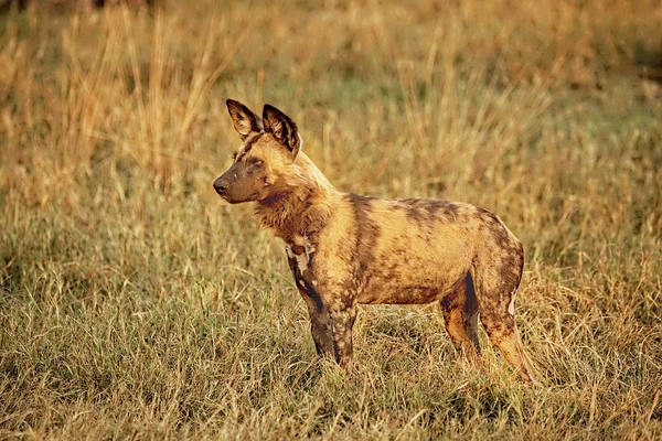 Wild Dog Art Print featuring the photograph Wild Dog Of Botswana by Kay Brewer