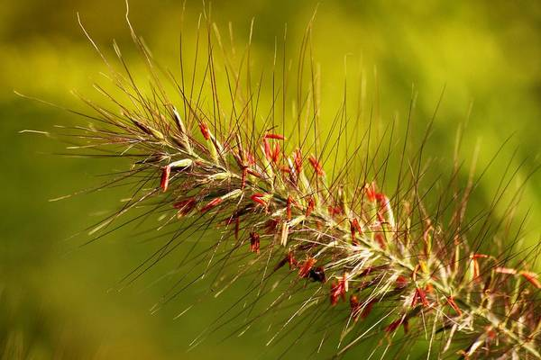 Wild Grass Art Print featuring the photograph Wild Grass 4 by Jim Darnall
