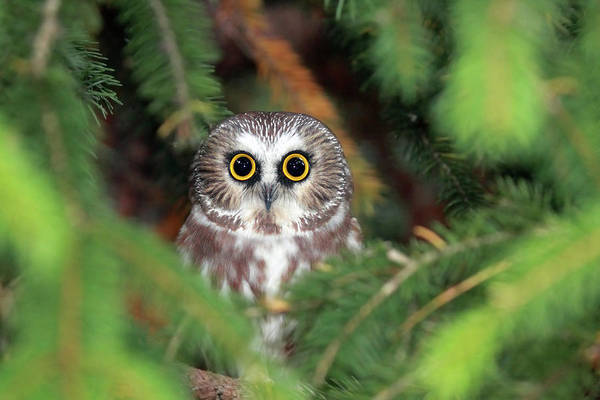 Horizontal Art Print featuring the photograph Wild Northern Saw-whet Owl by Mlorenzphotography
