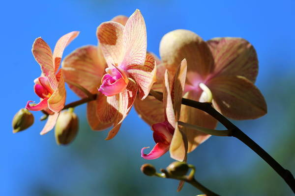 Orchid Art Print featuring the photograph Wild Orchid by Imagery-at- Work