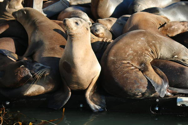 Wild Art Print featuring the photograph Wild Sea Lions by Christy Pooschke