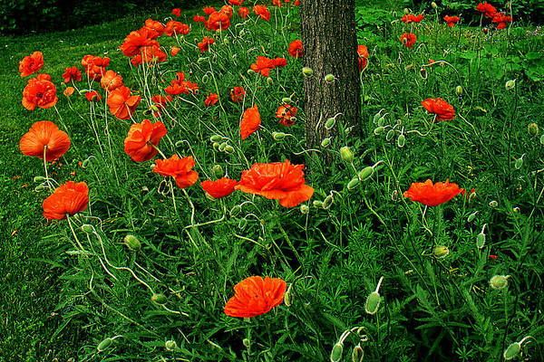 Flowers Art Print featuring the photograph Windblown Poppies by Roger Soule