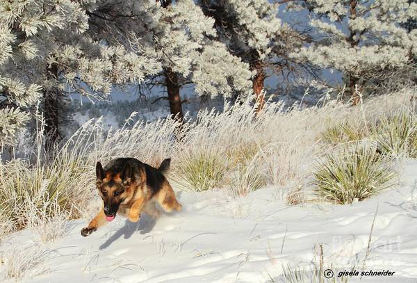 Alsation Art Print featuring the photograph Winter Fun ... Montana Art Photo by GiselaSchneider MontanaArtist