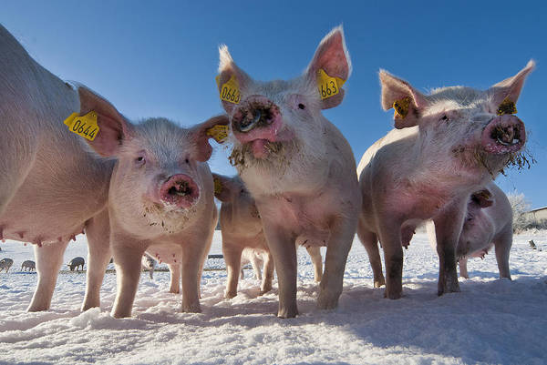 Pigs Art Print featuring the photograph Winter Sports by Robert Lacy
