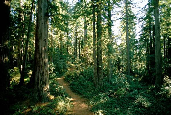 Long Meadow Sequoia Grove Art Print featuring the photograph Woodland Path Winding Through A Grove by James P. Blair