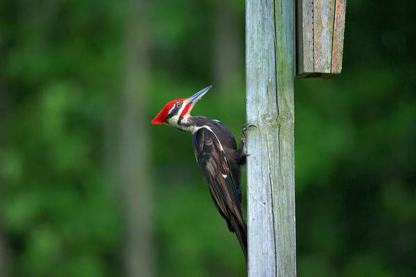 Pileated Woodpecker Art Print featuring the photograph Woody Woodpecker by Linda Kerkau