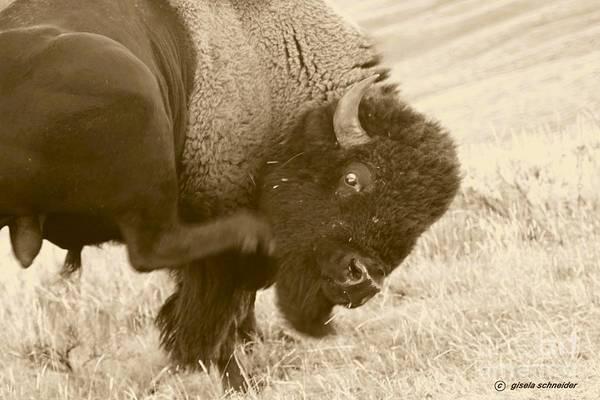 Art Art Print featuring the photograph Woolly Itch ... Montana Art Photo by GiselaSchneider MontanaArtist