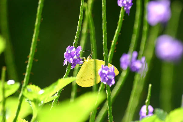 Insect Art Print featuring the photograph Yellow Butterfly by Mark Mah