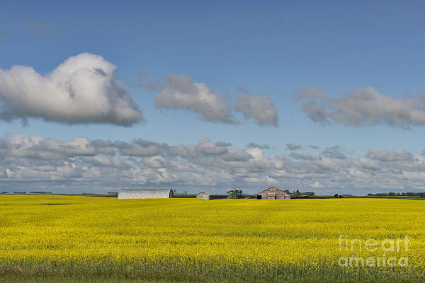 Canola Art Print featuring the photograph Yellow Fields And Blue Clouds by David Arment