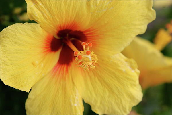 Yellow Art Print featuring the photograph Yellow Hibiscus 2 by Eddie Freeman