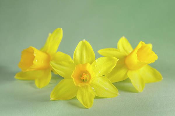 Yellow Mini Narcissus Art Print featuring the photograph Yellow Mini Narcissus On Green 2 by Iris Richardson