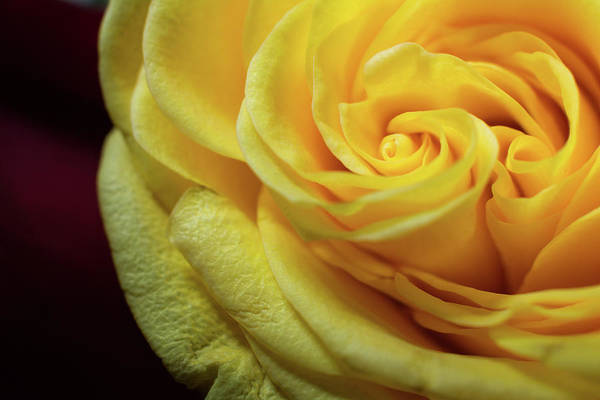 Yellow Art Print featuring the photograph Yellow Rose by Dawn Knuth