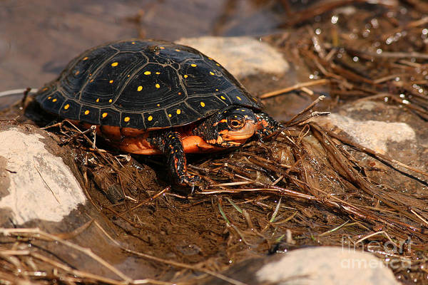 Turlte Art Print featuring the photograph Yellow-spotted Turtle Crawling Through Wetland by Max Allen