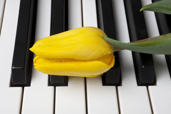 Tulip Art Print featuring the photograph Yellow Tulip On Piano Keys by Garry Gay