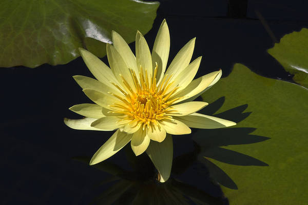 Yellow Water Lily Art Print featuring the photograph Yellow Water Lily by Sally Weigand