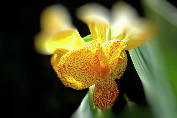 Canna Art Print featuring the photograph Yellow With Red Spots by Douglas Barnard