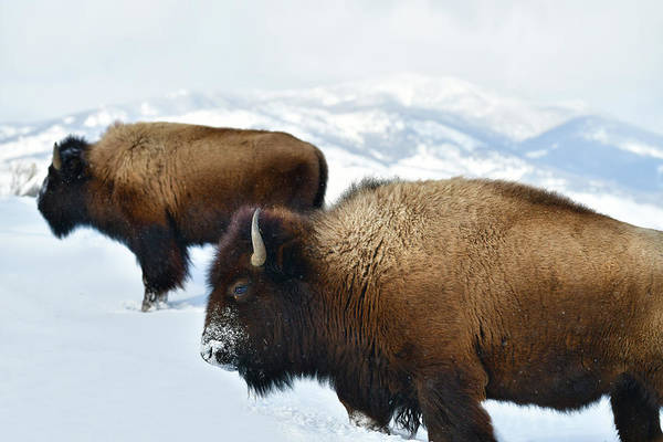 American Bison Art Print featuring the photograph Yellowstone Winter by Surjanto Suradji