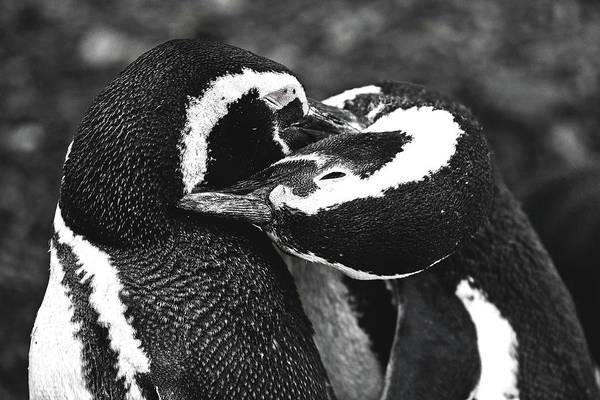Penguin Art Print featuring the photograph You Scratch My Back... by Julian Regan